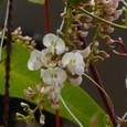 ハーデンベルギア 白花・緑軸