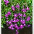 ロベリア 赤紫