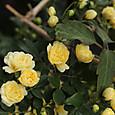 バラ 黄モッコウ